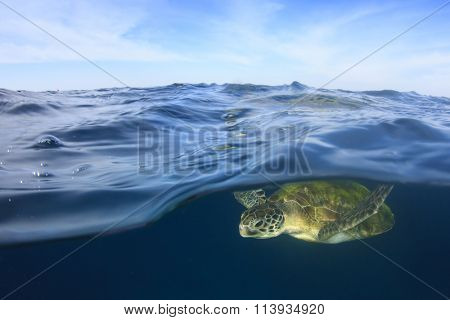 Sea Turtle swims just below surface