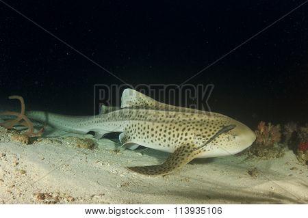 Leopard Shark (Zebra Shark)(Triakis semifasciata)