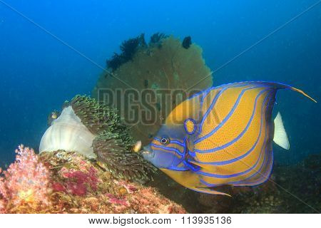 Blue-ringed Angelfish anemone and fan corals in background