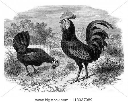Rooster and Hen Andalusian, vintage engraved illustration. Magasin Pittoresque 1880.