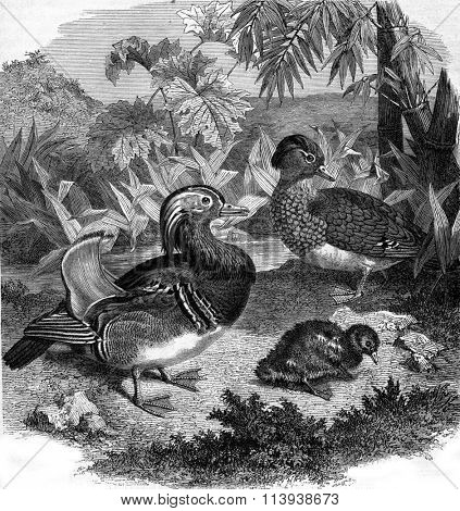 Mandarin Duck, Duck range, or Teal China, vintage engraved illustration. Magasin Pittoresque 1880.