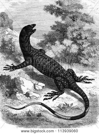 The Varan variegated Australia, vintage engraved illustration. Magasin Pittoresque 1878.