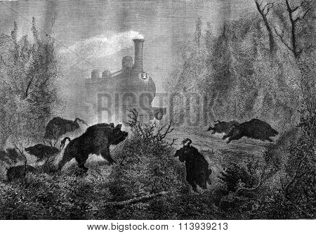 Boars, A panic, vintage engraved illustration. Magasin Pittoresque 1878.
