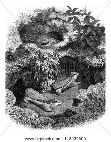 The Chlamyphore truncated its burrow, vintage engraved illustration. Magasin Pittoresque 1876.