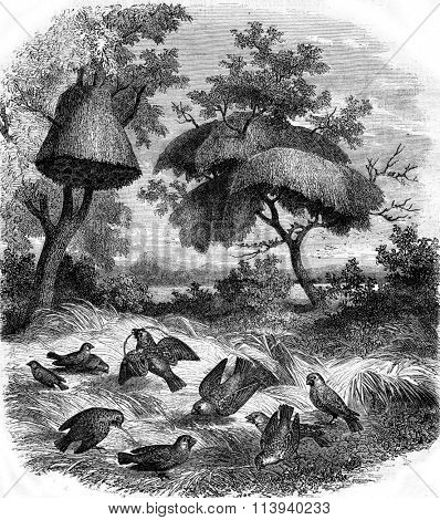 The Republican Weaver and his nest, vintage engraved illustration. Magasin Pittoresque 1873.