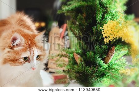 Red Cat, Fir-tree Branches And Mimosas