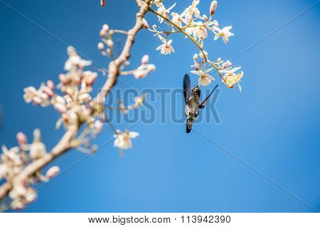 Cuban Bee Hummingbird (mellisuga Helenae) Single Adult Male