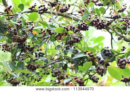 Chokeberries Tree