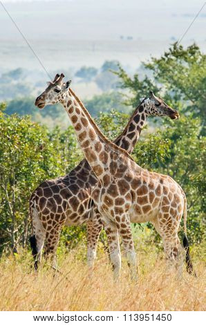 Two Giraffes. Africa. Kenya.