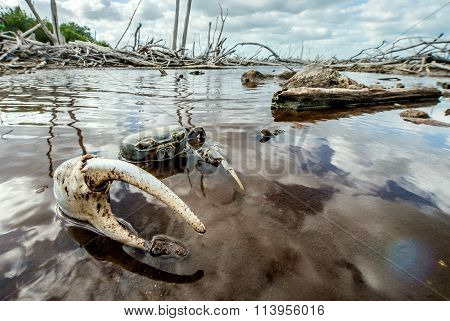 Blue Land Crab (cardisoma Guanhumi) Mangrove Land Crab L