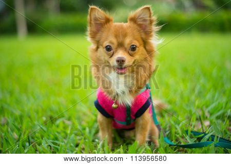 Young Dog Sitting On The Grass In The Park Looking At The Camera Waiting For Dessert.