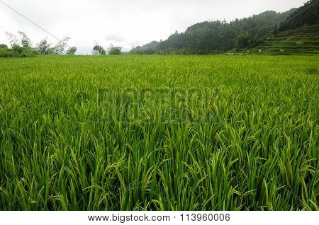Rice field of Yunhe
