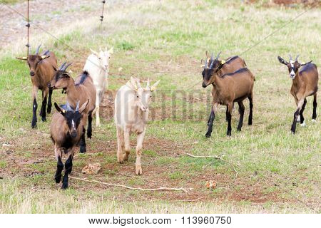 herd of goats, Aveyron, Midi Pyrenees, France