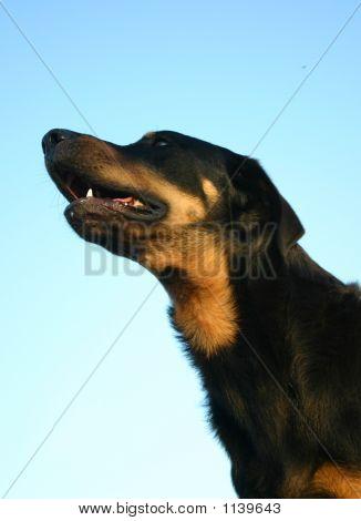 Black Beauceron