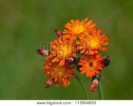 Wild orange flowers on green background.