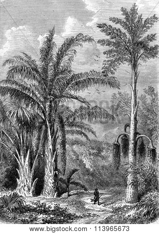 Palm Tree, Raphia of Madagascar, Caryota the Malabar, vintage engraved illustration. Magasin Pittoresque 1870.
