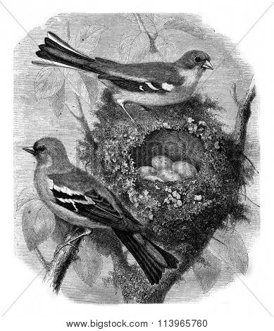 Finch and her nest, vintage engraved illustration. Magasin Pittoresque 1869.