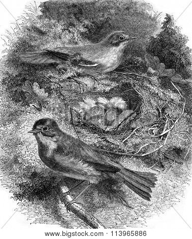 The Rouge-Gorge and its nest, vintage engraved illustration. Magasin Pittoresque 1869.
