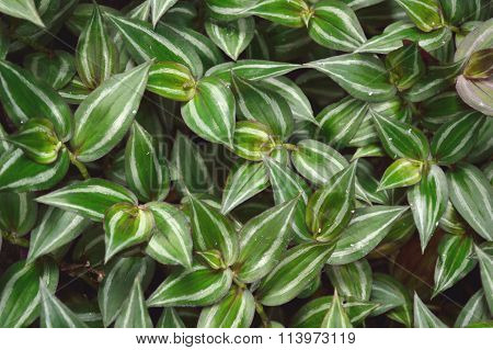 Lush Green Wandering Jew Plant