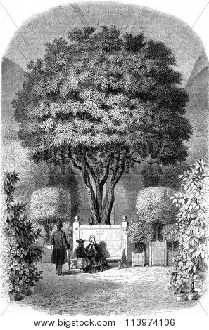 The oldest of Orange France, Orangerie of Versailles, vintage engraved illustration. Magasin Pittoresque 1857.