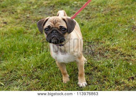 young pug walking
