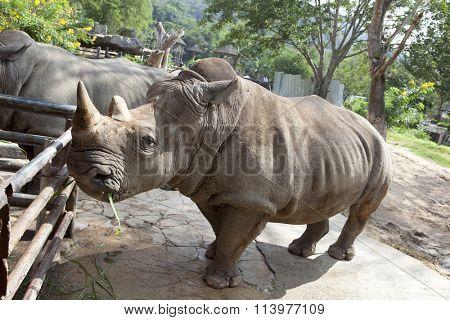 African black rhinoceros in a zoo Khao Kheow in Thailand