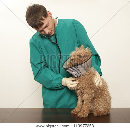 Vet examining an red toy poodle