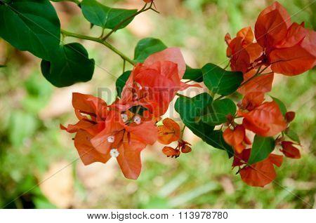 Orange Bougainvillea Flower