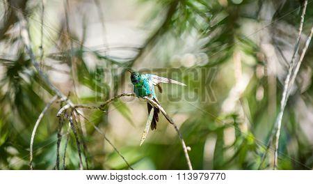 Cuban Emerald Hummingbird (chlorostilbon Ricordii),