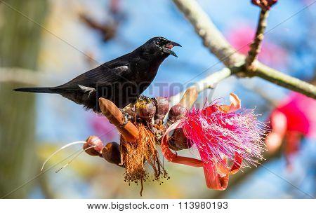 Cuban Blackbird (ptiloxena Atroviolacea). Cuban Blackbird Dives