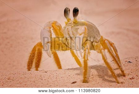 Mr Serious Crab