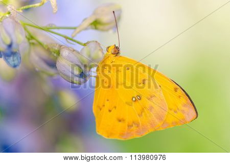 beautiful yellow butterfly drinking honeydew on a flower