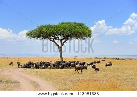 Wildebeest In National Park Of Kenya
