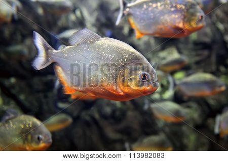 Tropical Piranha Fishes