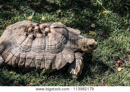 African Sulcata Tortoise in Grass.