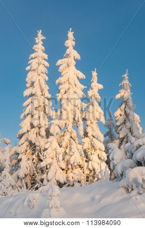 Heavily Snowcapped Trees In Sunset (vert)