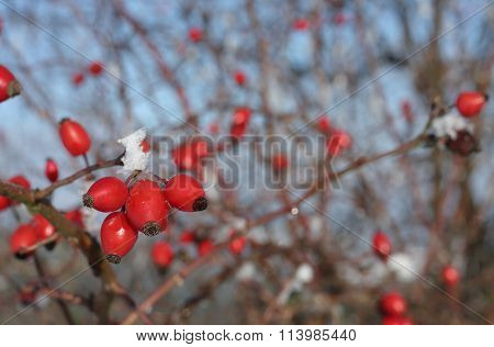 Frozen Rose Hips Covered By  Snow