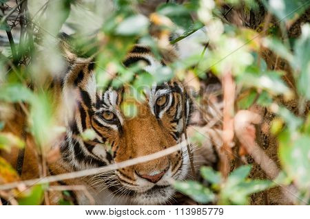Portrait Of A Tiger In Bushes.  The Bengal (indian) Tiger Panthera Tigris Tigris. India