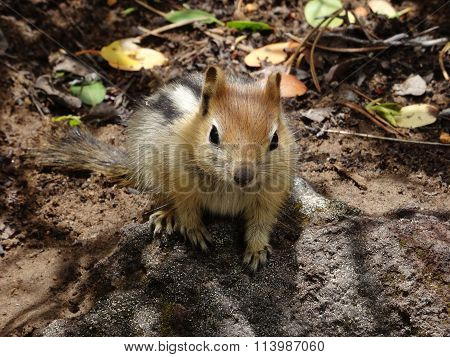 Cute Golden-mantled Ground Squirrel