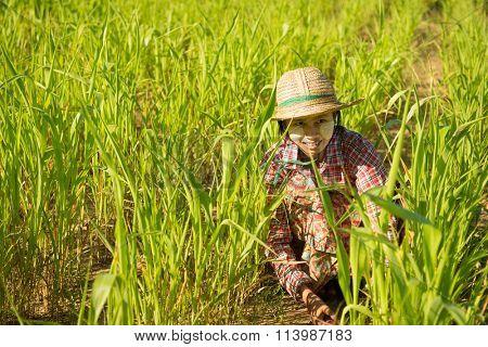 Traditional Asian female farmer working in corn field, Bagan, Myanmar.