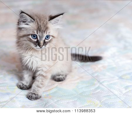 The Neva-Masquerade kitten