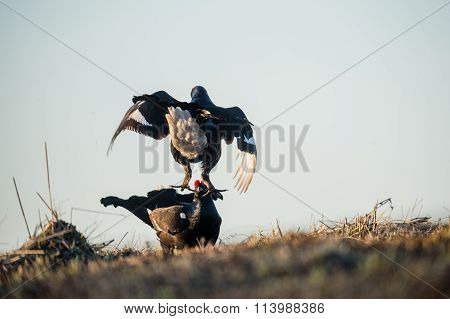 Fighting Lekking Black Grouses. Birkhuhn, Black Grouse (tetrao Tetrix), Blackgame (lyrurus Tetrix).