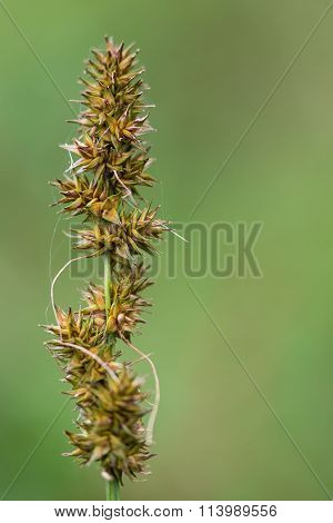 False fox-sedge (Carex otrubae)