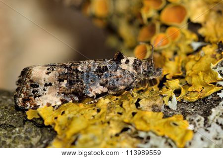 Endothenia gentianaeana moth in family Tortricidae
