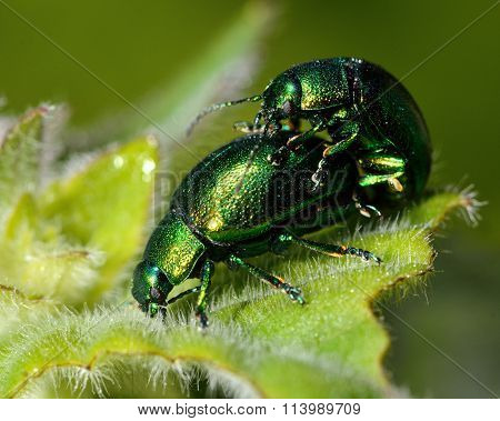Mint leaf beetles (Chrysolina herbacea) mating