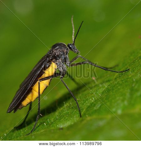 Sciara hemerobioides fly