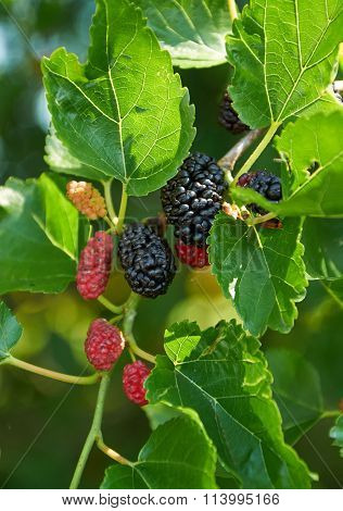 Black Ripe And Red Unripe Mulberries