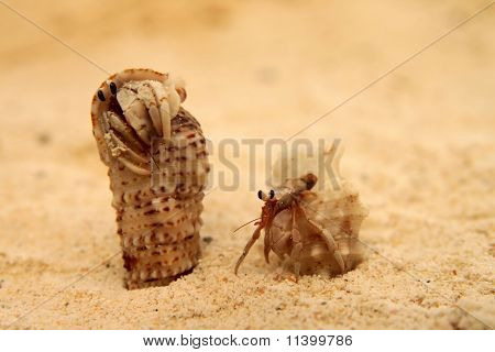 Pair of small crabs