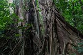 Постер, плакат: Daintree forest in Mossman Gorge