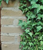 stock photo of english ivy  - Green English Ivy leafs growing all over an adobe brick wall - JPG
